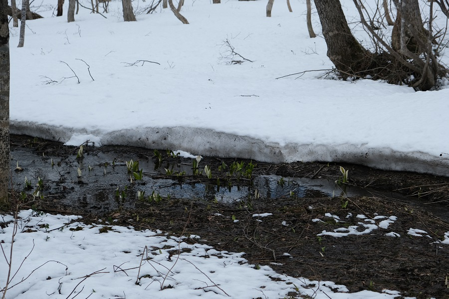 栗駒山十文字の水芭蕉の風景写真