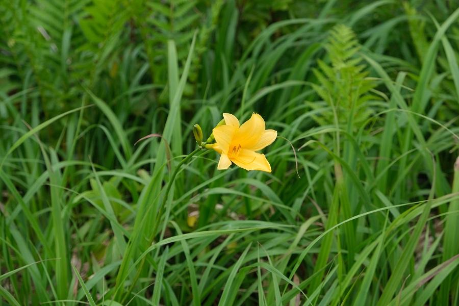 世界谷地原生花園自然遊歩道のニッコウキスゲの6月の写真画像