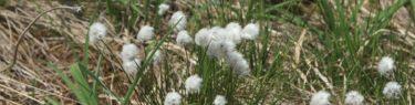 栗駒山の世界谷地原生花園のワタスゲの群生状況写真