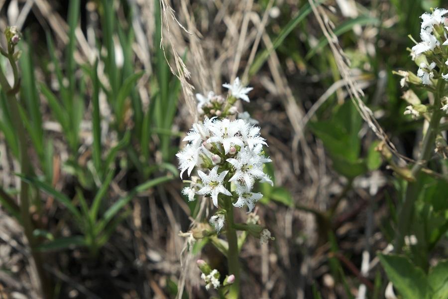 栗駒山の世界谷地原生花園の植物で名前不明の写真
