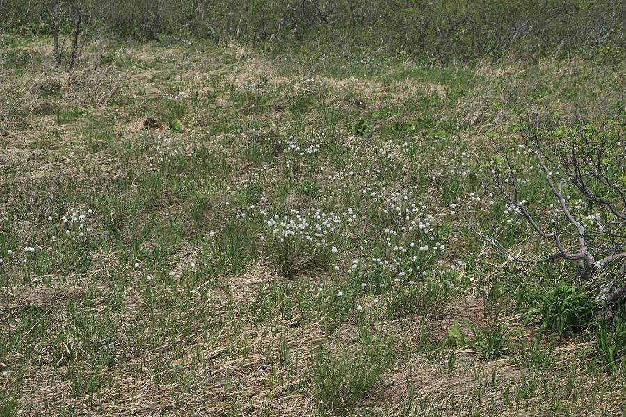 世界谷地原生花園のワタスゲの群生状況写真
