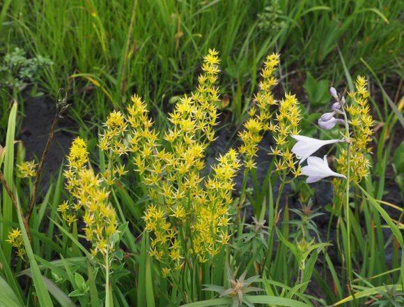 世界谷地遊歩道のキンコウカの咲いてる風景写真