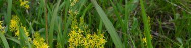 世界谷地原生花園のキンコウカの7月の写真