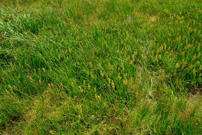 世界谷地原生花園の8月の風景 終わりかけのキンコウカの写真