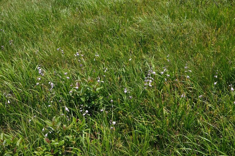世界谷地原生花園の8月の風景 ウバユリの写真