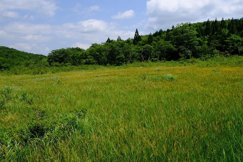 世界谷地原生花園の8月の風景 キンコウカの写真